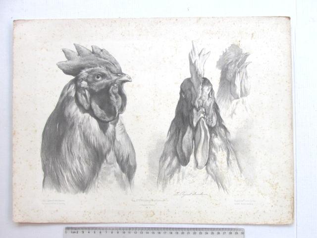 ליטוגרפיה, ראש תרנגול חלודה