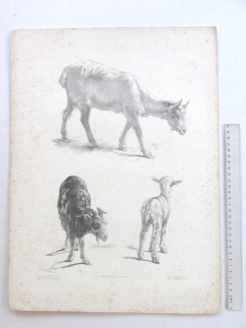 ליטוגרפיה, עיזים, חלודה