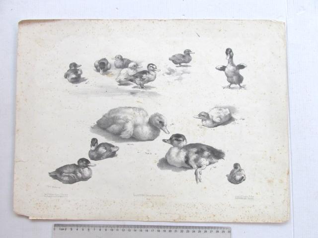 ליטוגרפיה, ברווזונים, חלודה